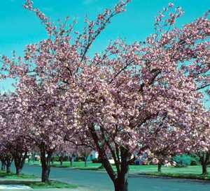 Cherry Tree, Kwanzan Flowering
