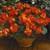 Geraniums: Pelargonium Hortorum, 'Maverick™ Orange'