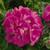Geraniums: Pelargonium Hortorum, 'Maverick™ Pink'