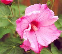 Hibiscus, 'Sweet Caroline'
