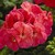 Geraniums: Pelargonium Hortorum, 'Maverick™ Salmon Confetti'