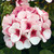 Geraniums: Pelargonium Hortorum, 'Maverick™ Star'