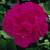 Geraniums: Pelargonium Hortorum, 'Maverick™ Violet'