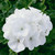 Geraniums: Pelargonium Hortorum, 'Maverick™ White'