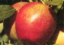 Apple Tree, Semi-dwarf 'Braeburn'