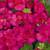 Geraniums: Pelargonium Hortorum, 'Multibloom™ Bright Rose'
