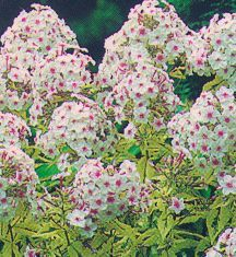 Phlox, Summer Garden 'Darwin's Joyce'