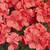 Geraniums: Pelargonium Hortorum, 'Multibloom™ Capri'