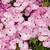 Geraniums: Pelargonium Hortorum, 'Multibloom™ Lavender'