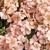 Geraniums: Pelargonium Hortorum, 'Multibloom™ Light Salmon'
