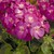 Geraniums: Pelargonium Hortorum, 'Multibloom™ Orchid'