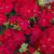 Geraniums: Pelargonium Hortorum, 'Multibloom™ Red'