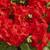 Geraniums: Pelargonium Hortorum, 'Multibloom™ Scarlet'