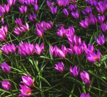 Tulips_tulipa_humilis-1.full