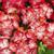 Geraniums: Pelargonium Hortorum, 'Multibloom™ Scarlet Eye'