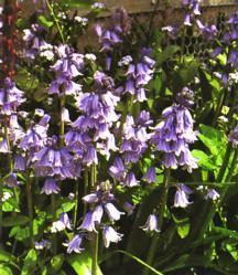 Bulbs_hyacinthoides_hispanica-1.full