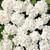 Geraniums: Pelargonium Hortorum, 'Multibloom™ White'