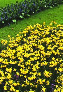 Daffodils_and_narcissus_narcissus_tete_a_tete-1.full