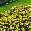 Daffodil, Miscellaneous ADS Miniature 'Tete a tete'
