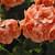 Geraniums: Pelargonium Hortorum, 'Orbit Synchro™ Salmon'