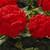 Geraniums: Pelargonium Hortorum, 'Orbit Synchro™ Scarlet'