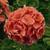 Geraniums: Pelargonium Hortorum, 'Orbit™ Deep Salmon'