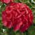 Geraniums: Pelargonium Hortorum, 'Orbit™ Glow'