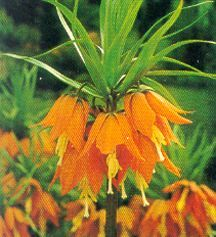 Crown Imperial, 'Rubra Maxima'