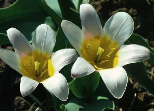 Tulips_tulipa_gaiety-1.full