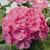Geraniums: Pelargonium Hortorum, 'Orbit™ Rose'
