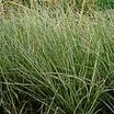 Grass, Variegated Feather Reed