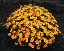 Marigold, Golden Gem Signet