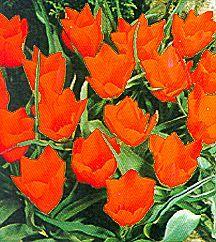 Tulips_tulipa_batalinii_red_jewel-1.full