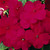 Impatiens: Impatiens Walleriana, 'Accent™ Cranberry'
