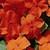 Impatiens: Impatiens Walleriana, 'Accent™ Orange'