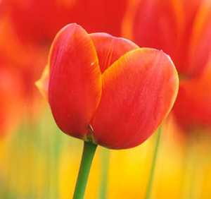 Tulip, Darwin 'Ad Rem'