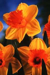 Daffodil, Large-cupped Scarlet O'Hara