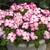 Impatiens: Impatiens Walleriana, 'Accent™ Pink Picotee'
