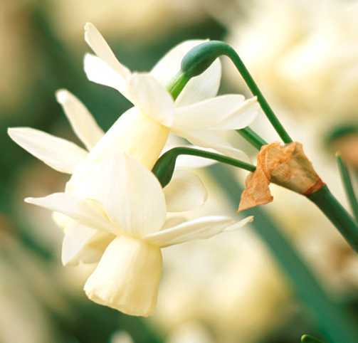 Daffodils_and_narcissus_narcissus_triandrus_x_ice_wings-1.full