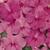 Impatiens: Impatiens Walleriana, 'Accent™ Rose'