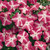Impatiens: Impatiens Walleriana, 'Accent™ Rose Star'