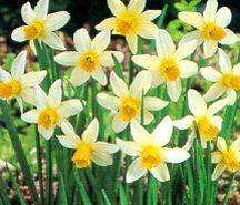 Daffodils_and_narcissus_narcissus_cyclamineus_jack_snipe-2.full