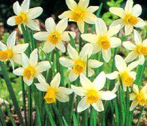 Daffodil, Cyclamineus 'Jack Snipe'