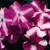 Impatiens: Impatiens Walleriana, 'Accent™ Violet Star'