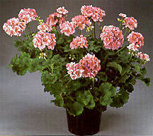 Geranium, Zonal 'Patriot Salmon Blush'