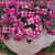 Impatiens: Impatiens Walleriana, 'Mosaic™ Lilac'