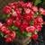 Impatiens: Impatiens Walleriana, 'Mosaic™ Red'