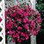 Impatiens: Impatiens Walleriana, 'Victorian Rose™'