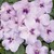 Impatiens: Impatiens Walleriana, 'Xtreme™ Lavender'
