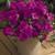 Impatiens: Impatiens Walleriana, 'Xtreme™ Lilac'